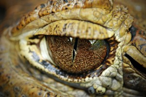 look crazy-making alligators in the eye